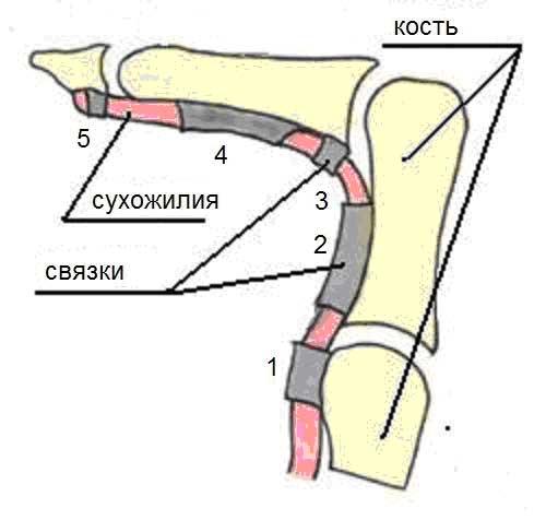 Сухожилия на локтевом суставе застыли как растянуть артриты артрозы коленных суставов